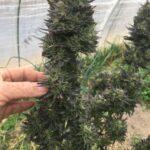 Auto-flowering cannabis