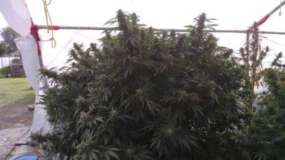 The Big Cannabis Plant